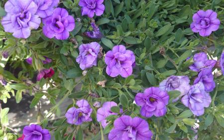 suitable: MiniFamous Double Amethyst Calibrachoa, cultivar with mini petunia like flowers, semidouble, purple in color, plant with trailibg habit, suitable for pots