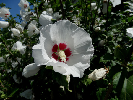 lobed: Hibiscus syriacus Red Heart, Deciduous shrub to small tree with lobed leaves and snow white flowers with red fringed blotches at base of petals
