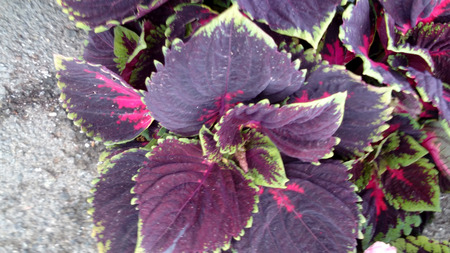 marginal: Coleus Kong Red, Plectranthus scutellarioides Kong Red, cultivar with dark purple leaves with magenta base and center and greenish along marginal teeth Stock Photo