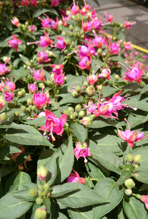 nearly: Fuchsia Aretes Upright Allison Patricia, trailing shrub with elliptic lanceolate leaves and double flowers with lighter colored petals and nearly red calyx