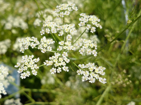 Caraway, Carum carvi, Persian cumin, spice plant with dissected leaves, small white flowers in compound umbels and small fruits used as spice and refreshing agent. photo