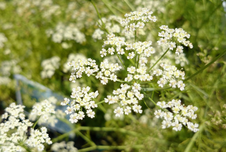 Caraway, Carum carvi, Persian cumin, spice plant with dissected leaves, small white flowers in compound umbels and small fruits used as spice and refreshing agent.
