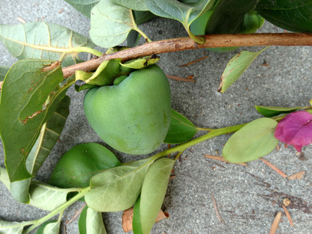 palatable: Hachiya persimon, Diospyros kaki Hachiya, cultivar with oblong orange yellow fruits with persistent calyx lobes, astringent when partially ripe, sweet and palatable when fully ripe Stock Photo