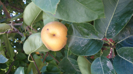 gritty: Yellow Asian pear, Pyrus pyrifera, producing nearly globose fruits, with notch at flower end, initially green with dots turning yellow when ripe with pale white gritty flesh Stock Photo