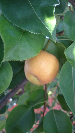 globose fruits: Yellow Asian pear, Pyrus pyrifera, producing nearly globose fruits, with notch at flower end, initially green with dots turning yellow when ripe with pale white gritty flesh Stock Photo