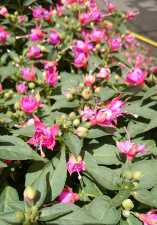 elliptic: Fuchsia Aretes Upright Allison Patricia, trailing shrub with elliptic lanceolate leaves and double flowers with lighter colored petals and nearly red calyx