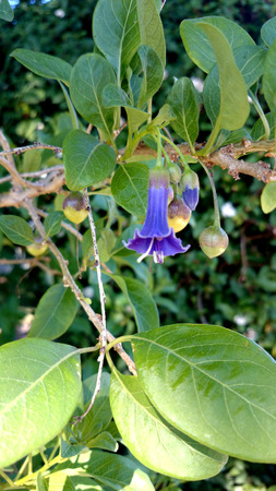 elongated: Iochroma australe, Blue Angels trumpet, Shrub with elongated branches, green leaves and hanging trumpet-shaped blue flowers with expanded corolla top. Stock Photo