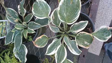 nearly: Hosta Ben Vernooij cultivar with broad green leaves with broad pale yellow to nearly white edges Stock Photo