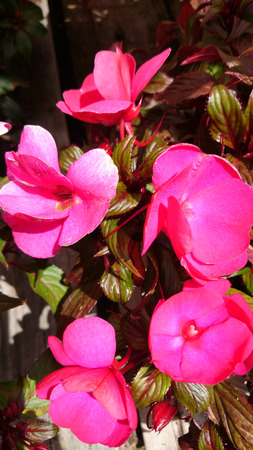 impatiens: New Guinea Impatiens, Impatiens linearifolia, ornamenmental herb with linear-lanceolate leaves flushed with bronze and bright large flowers pink to red in color Stock Photo