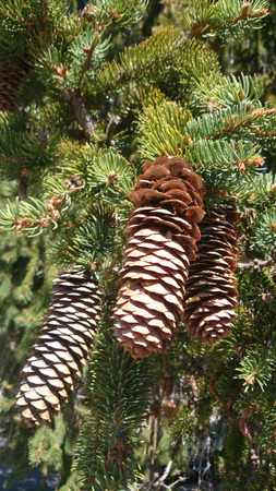 consisting: Spruce female cone, conifer tree with pendulus female cones consisting of overlapping dry scales.