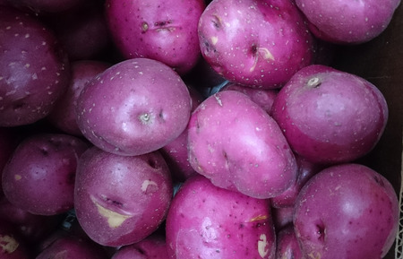Red potato, Solanum tuberosum, Dakota chief, a cultivar with red skinned potatoes with deep eyes and white waxy flesh photo