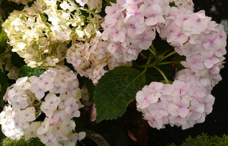 ornamental shrub: Hydrangea macrophylla White, White Big leaf hydrangea, ornamental shrub with large toothed leaves and large white flowers in terminal head Stock Photo