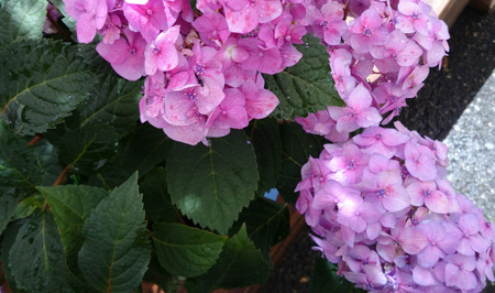 toothed: Hydrangea macrophylla Pink, Pink Big leaf hydrangea, ornamental shrub with large toothed leaves and large pink flowers in terminal head