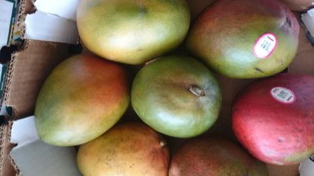 kent: Kent Mango, Mangifera indca, cultivar from Florida with large oval fruits, Green skin with red blush, orange yellow sweet and juicy flesh