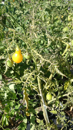 suitable: Yellow Pear tomato, Solanum lycopersicum, vine tomato with pear shaped yellow fruits less than 5 cm long, suitable for salads without slicing