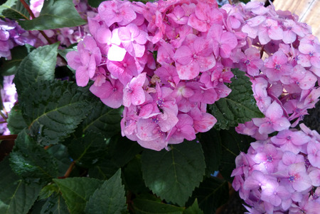 ornamental shrub: Hydrangea macrophylla Pink, Pink Big leaf hydrangea, ornamental shrub with large toothed leaves and large pink flowers in terminal head
