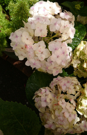 toothed: Hydrangea macrophylla White, White Big leaf hydrangea, ornamental shrub with large toothed leaves and large white flowers in terminal head Stock Photo