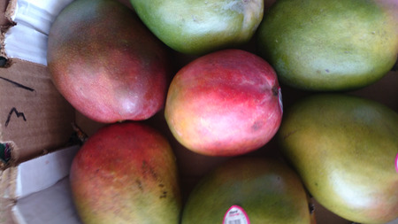 Kent Mango, Mangifera indca, cultivar from Florida with large oval fruits, Green skin with red blush, orange yellow sweet and juicy flesh