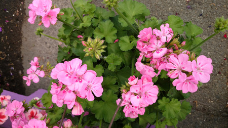 clusters: Pelargonium Double Take Pink Eye, interspecific hybrid with scented pink flowers in clusters with red blotches at base of petals