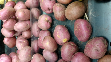 red skinned: Red potato, Solanum tuberosum, Dakota chief, a cultivar with red skinned potatoes with deep eyes and white waxy flesh
