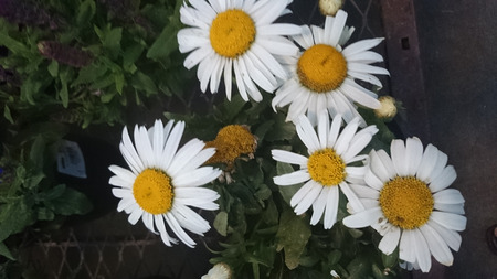 toothed: Leucanthemum superbum Snow Lady, cultivated perennial herb with toothed leaves and large white heads with yellow center on long stalks