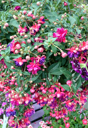 erect: Fuchsia Dollar Princess, erect deciduous shrub with dark green leaves and double flowers with crimson sepals and purple petals with red veins Stock Photo