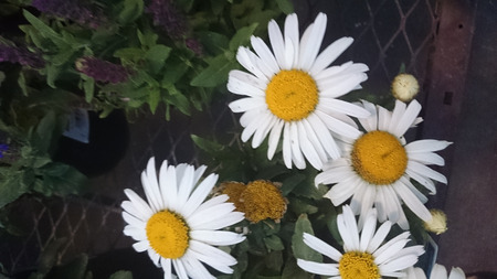 Leucanthemum superbum Snow Lady, cultivated perennial herb with toothed leaves and large white heads with yellow center on long stalks