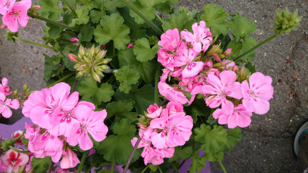 blotches: Pelargonium Double Take Pink Eye, interspecific hybrid with scented pink flowers in clusters with red blotches at base of petals