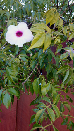 elongated: Pandorea jasminoides, Bower vine, everygreen climber with 5-9 leaflets and white flowers suffused with pink, 5 cm long and pointed elongated fruit