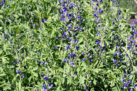 Baptisia australis, blue wild indigo, blue false indigo, herbaceous perennial, extentivel branches with grey-green trifoliate leaves and blue flowers in terminal spikes Stock Photo