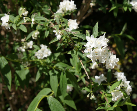 clusters: Deutzia longifolia, shrub with grey green lanceolate leaves and white flowers in terminal clusters Stock Photo
