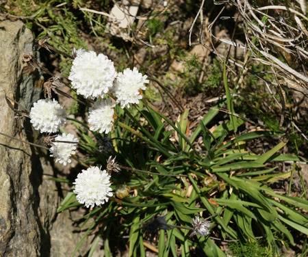 endemic: Armeria pseudoarmeria, A tufted plant endemic to Portugal, cultivated elsewhere, with linear dark green leaves and large white flowers in terminal head.