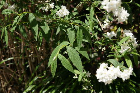 lanceolate: Deutzia longifolia, shrub with grey green lanceolate leaves and white flowers in terminal clusters Stock Photo