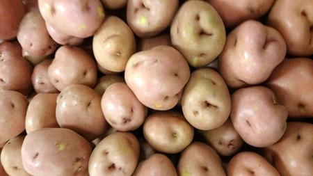 tuberosum: Red potato, Solanum tuberosum, Dakota chief, a cultivar with red skinned potatoes with deep eyes and white waxy flesh