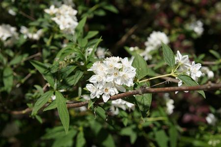 lanceolate: Deutzia longifolia, arbusto con grigio foglie lanceolate verdi e fiori bianchi in grappoli terminali Archivio Fotografico