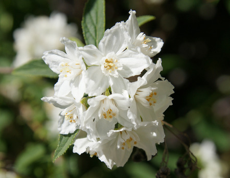 Deutzia longifolia, shrub with grey green lanceolate leaves and white flowers in terminal clusters Stock Photo