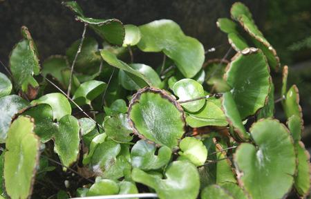 margen: Adiantum reniforme var. asarifolium, hierba perenne con hojas tripinnadas, con folletos reniformes circulares con soros lo largo del margen