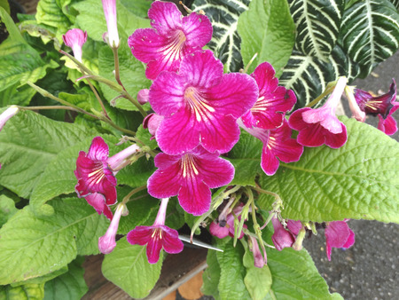 branched: Streptocarpus hybrida Laddyslippers Pinot, ornamental herb with primrose like leaves and several dark red flowers in branched inflorescence Stock Photo
