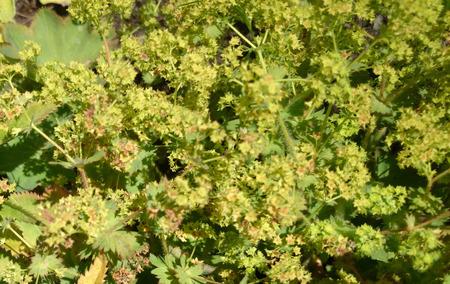 alchemilla: Alchemilla vulgaris, ladys comuni manto, perenne erbacea con foglie reniformi e piccoli fiori gialli verdognoli in infiorescenza ramificata Archivio Fotografico