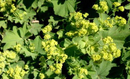 alchemilla: Alchemilla vulgaris, Common ladys mantle, herbaceous perennial with reniform leaves and small greenish yellow flowers in branched inflorescence