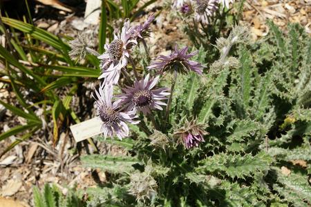 beneath: Berkheya purpurea, Purple Berkheya , perennial prickly thistle herb native of S Africa, leaves white beneath spiny edges, heads pale pink mauve with darker center.