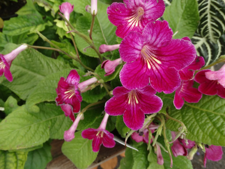 pinot: Streptocarpus hybrida Laddyslippers Pinot, ornamental herb with primrose like leaves and several dark red flowers in branched inflorescence Stock Photo