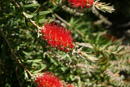 anthers: Albany bottlebrush, swamp bottlebrush, Callistemon speciosus, evergreen shrub with green lanceolate leaves and bright red terminal spikes with yellow anthers. Stock Photo