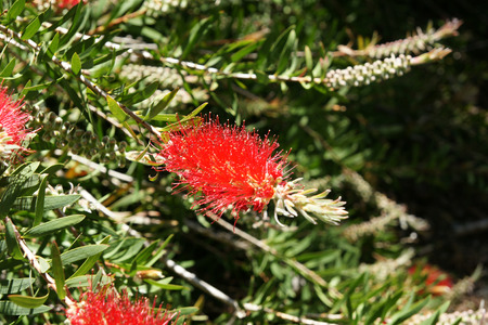 lanceolate: Albany bottlebrush, swamp bottlebrush, Callistemon speciosus, evergreen shrub with green lanceolate leaves and bright red terminal spikes with yellow anthers. Stock Photo