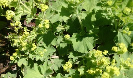 alchemilla vulgaris: Alchemilla vulgaris, Common ladys mantle, herbaceous perennial with reniform leaves and small greenish yellow flowers in branched inflorescence