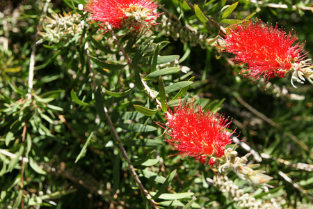 callistemon: Albany bottlebrush, swamp bottlebrush, Callistemon speciosus, evergreen shrub with green lanceolate leaves and bright red terminal spikes with yellow anthers. Stock Photo