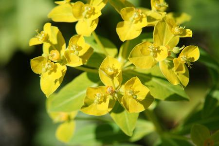 lanceolate: Euphorbia jacquemontii, pianta erbacea perenne dal dell'Himalaya occidentale con foglie verdi e foglie lanceolate floreali gialli e capsule granulato