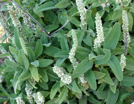 grigiastro: Hastata Dorystaechas, pianta perenne con lanceolate oblunghe foglie verdi grigiastre e fiori bianchi in spighe