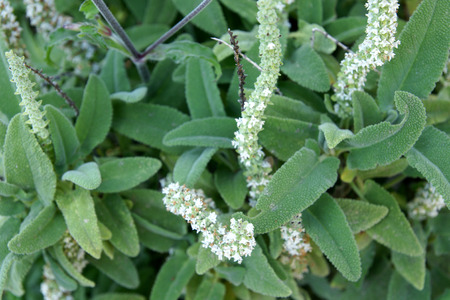 lanceolate: Dorystaechas hastata, perennial herb with lanceolate oblong greyish green leaves and white flowers in spikes