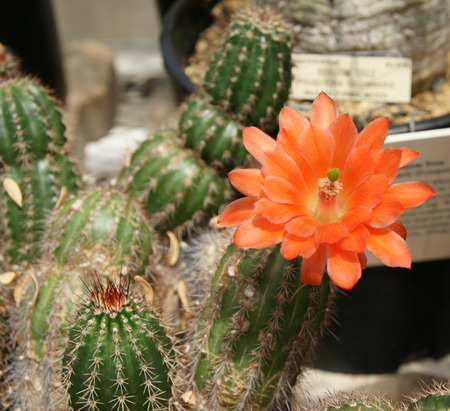 tubular flowers: Echinocereus polyacanthus ssp. huitcholensis, clump forming cactus with spines along the ridges and long tubular orange red flowers 4-8 cm in diam Stock Photo